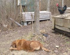 Training dogs to live with chickens