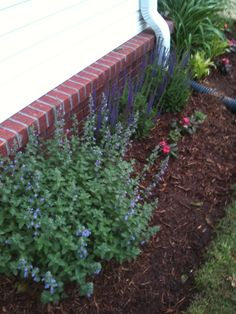 Our yard/garden april 29 2013.  Catmint and salvia along with new guinea impatiens, liriope and daylillies.