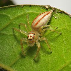 Female Two-striped Jumping Spider (Telamonia dimidiata, Salticidae)