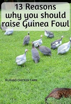 Why should we raise guinea fowl? 13 reasons why you need guineas on your farm or homestead. From bug control to amusement, guineas are a great addition to any farm or homestead. Raising Backyard Chickens, Keeping Chickens, Backyard Farming, Pet Chickens, Urban Chickens, Raising Farm Animals, Raising Ducks, Chicken Breeds, Chicken Coops