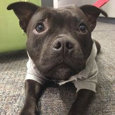 This face! How could anyone be scared of this cute puppy face. #pitbull