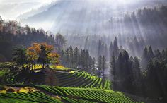 Boseong Green Tea Plantation - 보성다원의 빛내림...