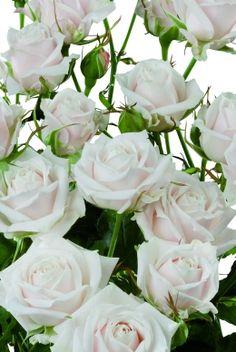 White Garden Rose Boutonniere salinero garden rose | floral | pinterest | garden roses, gardens