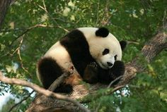 Giant panda sleeping in the tree | by Mike He 2008