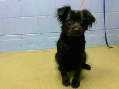 #A439819 (Moreno Valley, CA) female, black Cocker Spaniel mix. The shelter thinks I am about 1 year and 5 months old. I have been at the shelter since Aug 30, 2014 and I may be available for adoption on Sep 07, 2014 at 1:18PM. ... City of Moreno Valley Animal Control Services. https://www.facebook.com/135559229932205/photos/a.136024659885662.29277.135559229932205/352482254906567/?type=3&theater