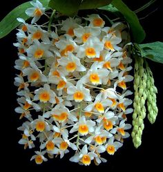 Dendrobium... How Gorgeous!