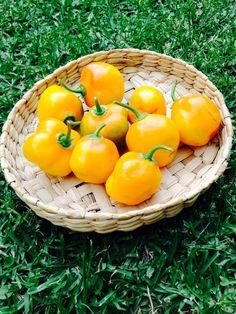 Cosecha orgánica de chiles Manzanos!! Tienen un picor suave que los hace perfectos para unos chiles en vinagre. Yumm!!