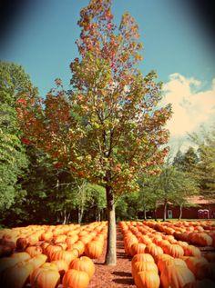 Bert's Pumpkin Patch just outside of Ellijay GA.