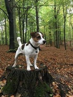 Jack Russell Terrier or Jack Russell Terrorist? If you own a Jack Russell like I do...then it's a terrorrist! They are masters of mischievous things but I love my Jack Russell Terrier!