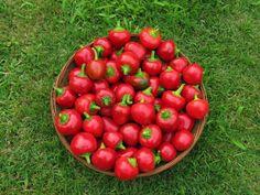 La forma del peperoncino Cherry Bomb ricorda quella di una ciliegia, ma il suo sapore oscilla tra il lievemente ed il mediamente piccante.
