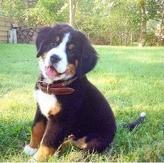 Sweet Lil Berner Pup