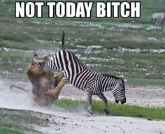 A funny demotivator of a lion and a zebra. Looks like its not going to happen today for the lion as the zebra has hooves full of epic win. Funny Animal Pictures, Funny Photos, Funny Animals, Cute Animals, Fierce Animals, Random Pictures, Pictures Images, Funny Cute, The Funny