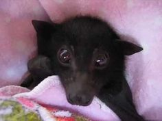 This Adorable Flying Fox Just Wants to Stare at You and Wiggle His Ears - Cheezburger