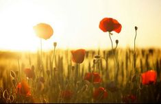 Poppy Flower – Meaning, Symbolism and Colors Poppy Flower – Meaning, Symbolism and Colors Poppy Flower Meaning, Brian Weiss, Flower Meanings, Remembrance Day, Organic Gardening Tips, Wayne Dyer, Sunset Photos, Poppies, Instagram