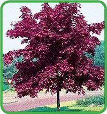 acer platanoides 39 columnare 39 trees pinterest acer