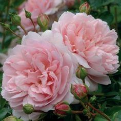 Wildeve, Standard - David Austin Roses