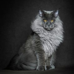 Coon Cat Cool | ZsaZsa Bellagio - Like No Other