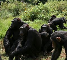 Lwiro Primates -  there are now 35 chimpanzees in the forest! It's time for the group to settle down, and hopefully build lots of new friendships.