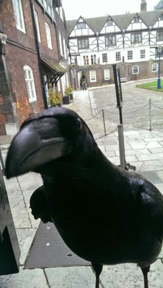 HELLO??? What is this Camera thing anyways.....???? :) Another Great Shot of the Tower of London Ravens by Chris Skaif!!!