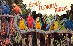 """Exotic FLORIDA BIRDS""; Vintage travel postcard.    COLORFUL MACAWS AT FLORIDA'S FAMOUS ""PARROT JUNGLE"""