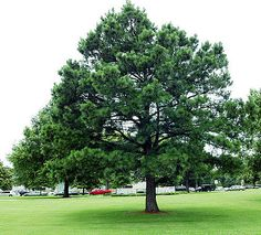 Loblolly pine in Arkansas.