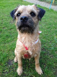 Border terrier Eddie proud with a price for agility