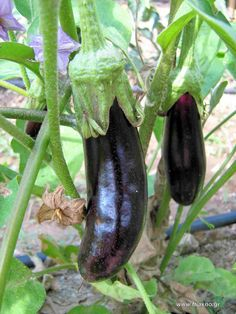 Tips About Vegetable Gardening for Beginners Vegetable Garden For Beginners, Gardening For Beginners, Gardening Tips, Organic Horticulture, Organic Gardening, Fruit Garden, Water Garden, Easy Garden, Home And Garden
