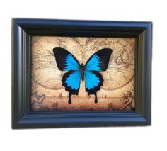 """Real Butterfly Shadowbox - Vintage, Steampunk, Adventure, Bugs, Insects, Taxidermy, Office, Butterflies. This piece is meant to call to the adventurer inside all of us. A 6""""x8"""" black, wood shadow box frame with a real Papilio Ulysses butterfly on a vintage world map. Very unique! All butterflies come from butterfly farms and lived a full life. They were not harmed in any way for my artwork. Information cards will be included to learn more. Makes a great conversational piece! Real…"""