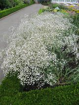 Baby's Breath Bush-early midsummer throughout summer and, unless cut, remain on the plants throughout summer and dry out naturally to make just as much impact as when they first open.
