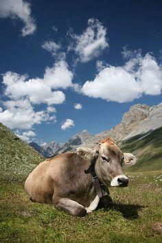 28cc79e01cd5f Brown Swiss milk cow! Goats
