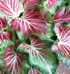 'STARBURST' Caladium (Strap Leaf)