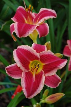 Daylily 'Vegas Show Girl'  'Vegas Show Girl' (Gluck, 2006) scape height	  	33 inches bloom size	  	5 inches bloom season	  	Early-Midseason   ploidy	  	Tetraploid foliage type	  	Dormant bloom habit	  	Diurnal   bud count	  	15 branches	  	3   seedling #	  	RS-11-02     Color: red with wide cream edge above green to yellow throat  Parentage: (Rosy Scenario × Street Urchin)