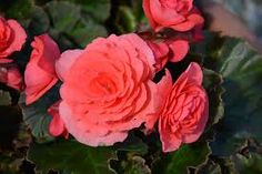 rex heimalis solenia dk pink - Google Search Wheelbarrow Planter, Planters, Google Search, Rose, Flowers, Pink, Plant, Window Boxes, Roses