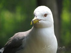 J. Schwindt Photography - Nature Photography, Ring Billed Gull