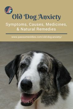 Old Dog Anxiety - A look at the causes, symptoms, medications, and natural remedies. #olddogs #dogcaretips #dogcareandhealth #dogcareideas #dogbehavior #doganxiety