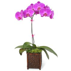 Growing Orchids for Beginners: Pink Phalaenopsis