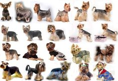 Yorkie haircuts for males and females + pictures) - Yorkie. Dog Grooming Styles, Dog Grooming Salons, Pet Grooming, Biewer Yorkie, Yorkie Puppy, Yorkshire Terrier Haircut, Yorkshire Terrier Puppies, Yorkie Cuts, Yorkie Hairstyles