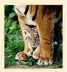 Rathambore tigers, India