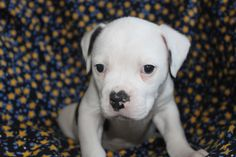 white american bulldog puppies pictures
