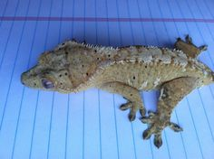 "River - Formerly ""Glow"" from Gex Crested Gecko. Beautiful yellow and cream dalmatian"