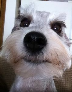 OMG how can you not just love this mini schnauzer face, just to cute