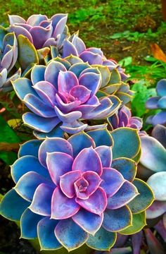 RARE colorful Echeveria Succulent seeds The biggest issue with the succulents is overwatering, let soil dry out in between wateringAll echeverias grow in a rosette inches cm) across on short stems