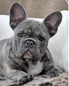 Blue Brindle French Bulldog
