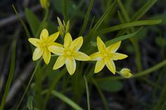 """yellow star-grass (Hypoxis hirsuta) makes me think of the Elanor in Lorien, the """"sun-star flower'"""""""