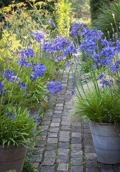 Potted agapanthus navy, the best agapanthus for growing in pots, with handsome bright green leaves and an excellent show of dark blue candelabra flowers which last most of summer. The green bead-like seed pods are a great asset too.