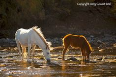 Wild Stallion And Colt On The Salt River in by PhotosbyJerryCowart
