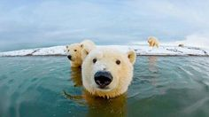 Polar bear selfie, Alaska  love love love