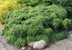 ТСУГА - TSUGA - GreenPlants