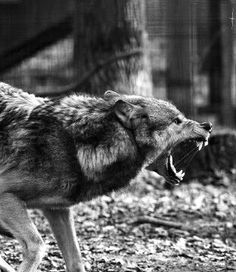 New Ideas For Tattoo Wolf Angry Werewolves Angry Animals, Animals And Pets, Cute Animals, Wolf Images, Wolf Pictures, Wolf Spirit, Spirit Animal, Beautiful Wolves, Animals Beautiful