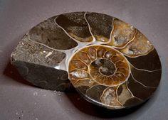 """Ammonite """" Cleoniceras"""" from Mahajanga Madagascar by Heavenlyearthgifts on Etsy"""